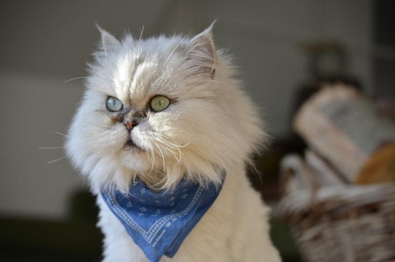 White persian cat II_Kadres_Pixabay