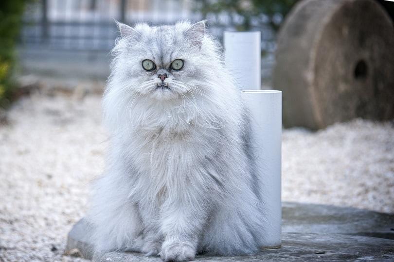 White persian cat sitting