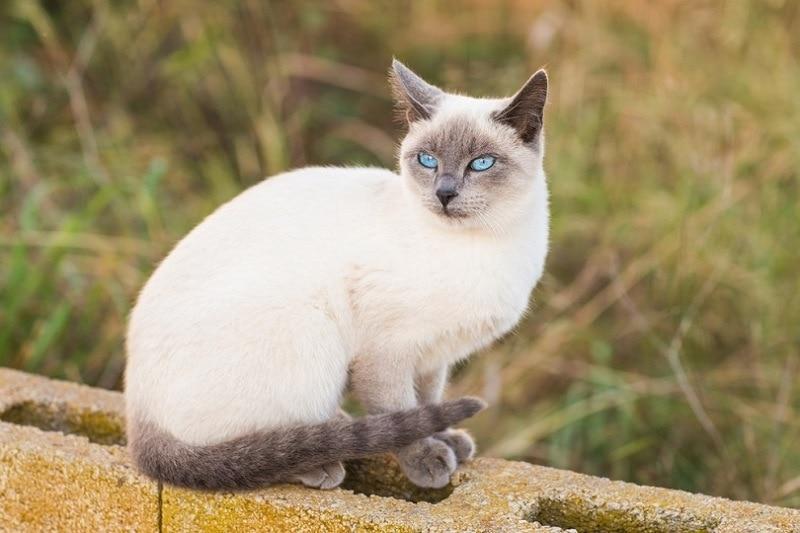 blue point siamese cat_Shutterstock_Tatiana Chekryzhova