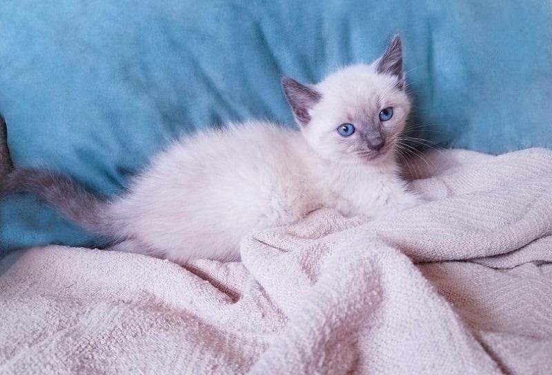 bluepoint siamese kitten_Shutterstock_Kitti Kween