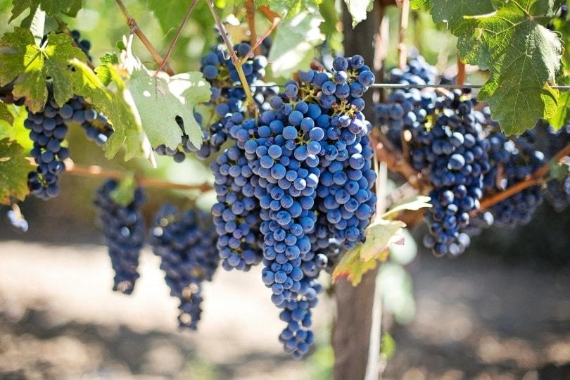 grapes_Jill Wellington_Pixabay
