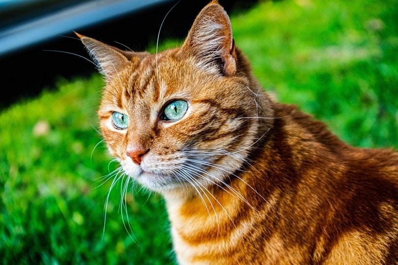 orange-tiger-cat_nicholas-diaz-saavedra_shutterstock