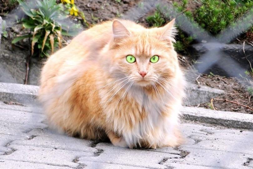 persian cat_Pixabay