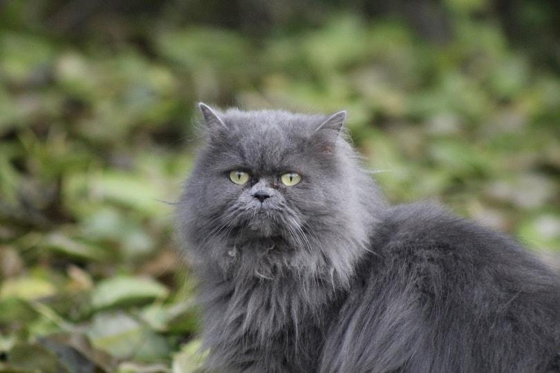 persian kitten_uadrienn_Pixabay