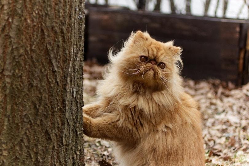 persians cat_lindarczyk_Pixabay