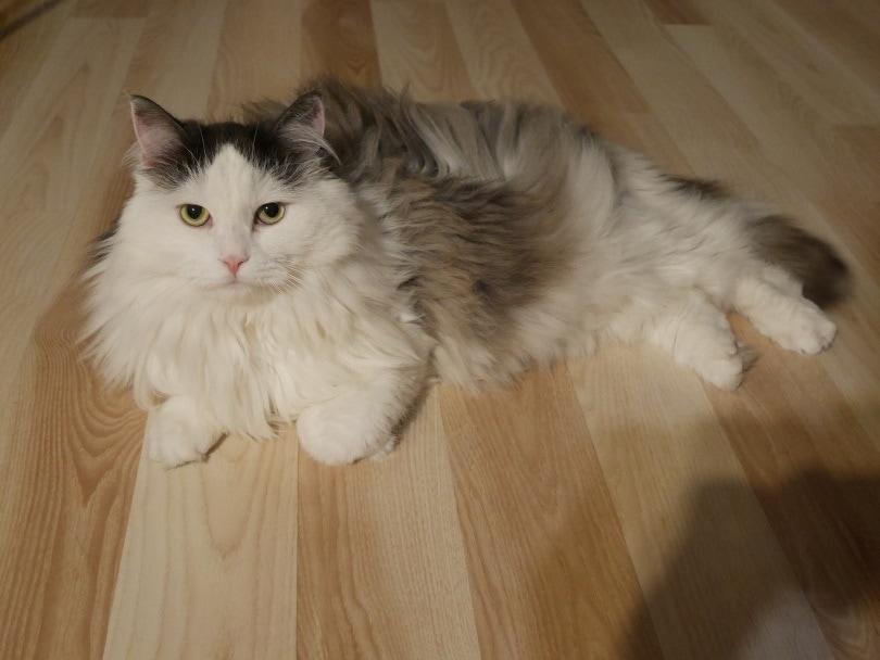siberian cat indoor_Joanna Gawlica-Giędłek_Pixabay