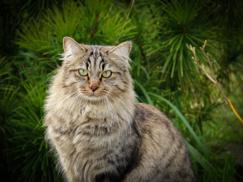 siberian cat_claudia125_Pixabay