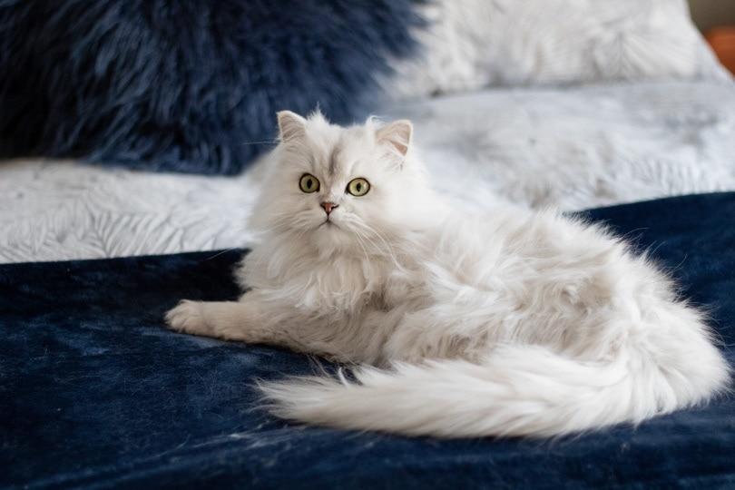white persian cat lying in blue_Piqsels