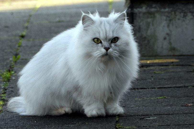 white persian cat_Piqsels