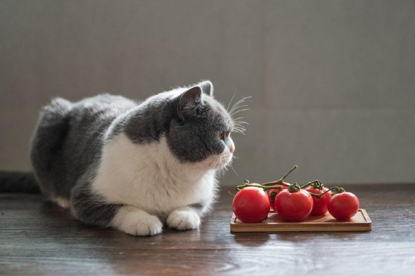 British shorthair cat and tomatoes