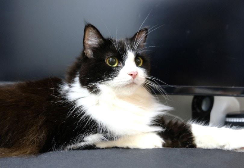 Tuxedo Ragamuffin Cat