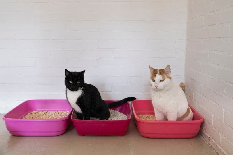 White and ginger cat and black and white cat sitting on a litter tray