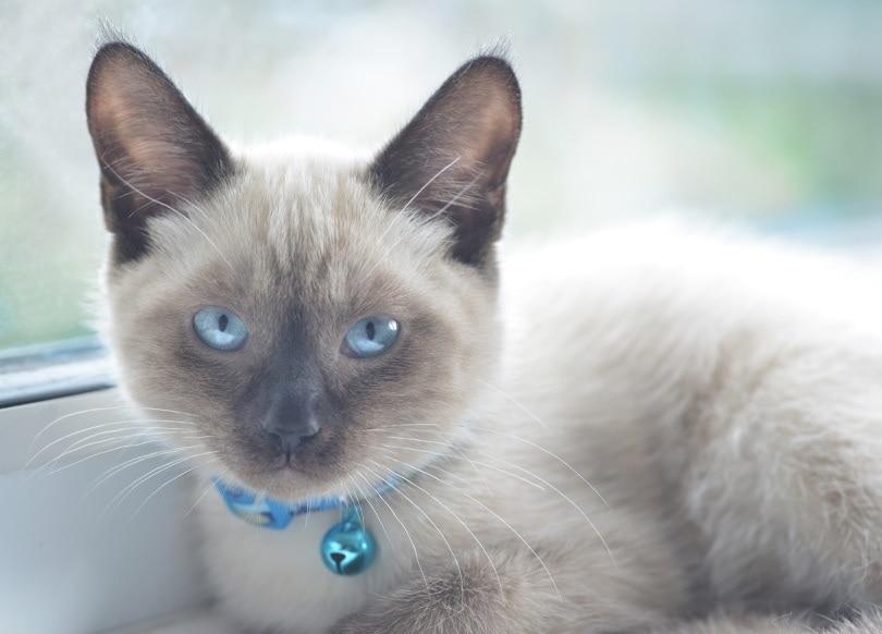 colorpoint shorthair cat_Daniel Gale_Shutterstock