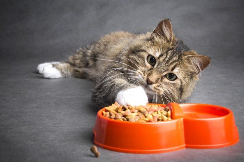 kitten with cat food_fantom_rd, Shutterstock